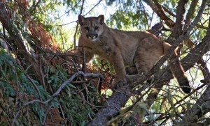 Chris Wilmers, a professor of environmental studies at the University of California Santa Cruz, is leading a team of scientists on the so-called Bay Area Puma Project, which hopes to tag mountain lions to study their movements, range, habits and physiolog
