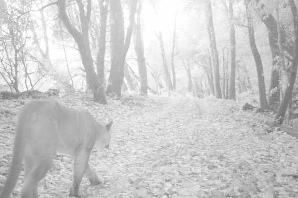 Another Mountain Lion Killed on Highway 17