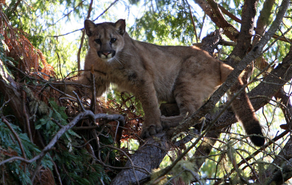 Chris Wilmers, A Professor Of Environmental Studies At The University Of California Santa Cruz, Is Leading A Team Of Scientists On The So Called Bay Area Puma Project, Which Hopes To Tag Mountain Lions To Study Their Movements, Range, Habits And Physiolog