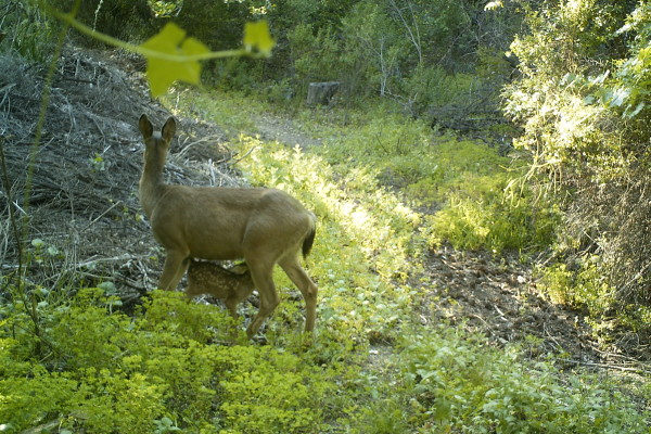 Wildlife Crossing: Not Just for Mountain Lions